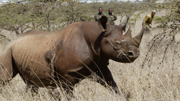 Eight black rhinos die in Kenya during relocation between parks