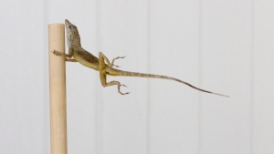 In this Oct. 19, 2017 photo provided by Colin Donihue, an anoles lizard hangs onto a pole during a simulated wind experiment in the Turks and Caicos Islands. (Colin Donihue via AP)