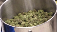 Cured flowers of cannabis intended for the medical marijuana market are seen at a licensed producer facility in Moncton, N.B., on April 14, 2016. THE CANADIAN PRESS/Ron Ward