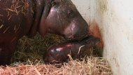 Mom, Kindia, is shown with an endangered Pygmy Hippo calf born at the Toronto Zoo. (Submitted/Toronto Zoo)