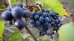 Grapes grow on the vine on a vineyard in Epernay, France, Thursday, Oct. 15, 2014. (AP Photo/Virginia Mayo)