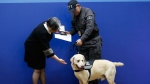 Led by handler Pedro Camargo, sniffer dog Yaco is awarded a certificate and gold medal by Colombia's Deputy Attorney General Maria Paulina Riveros for his years of service, during a retirement ceremony for 14 sniffer dogs in Bogota, Colombia, Friday, Sept. 21, 2018. The Chief Prosecutor plans to put the dogs up for adoption, placing them with families that will help them to live out their retirement years in peace and tranquility. (AP Photo/Fernando Vergara)