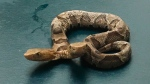 This Sept. 20, 2018 photo provided by the Wildlife Center of Virginia shows a two-headed Eastern Copperhead snake at the center in Waynesboro, Va. The center says the snake was found in a northern Virginia neighborhood. (Wildlife Center of Virginia via AP)