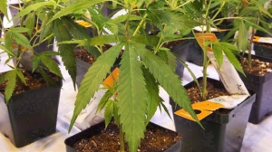 Aurora Cannabis swings to a profit