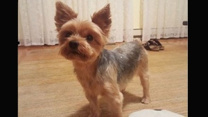 Muffy, a female Yorkshire Terrier who was stolen from her home near Islington Avenue and The Westway, is pictured in this handout photo. (Toronto police)