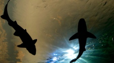 Sharks swim above during the grand opening of the Ripley's Aquarium of Canada in Toronto on Wednesday, Oct. 16, 2013. THE CANADIAN PRESS/Nathan Denette
