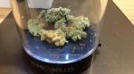 Cannabis on display at a Tweed location in Osborne Village. (Josh Crabb/CTV News.)