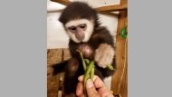 Agnes, a Gibbon monkey who was stolen from the Elmvale Jungle Zoo near Barrie, is pictured. (Handout /OPP)