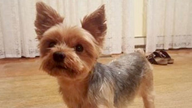 Two People Charged After Yorkshire Terrier Named Muffy Stolen From
