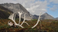 In this Aug. 1, 2014 photo provided by the National Park Service are male caribou antlers in the Oolah Valley, likely the result of a grizzly kill as he migrated south for the winter at the Arctic National Park and Preserve in Alaska. (AP Photo/National Park Service, Cadence Cook)