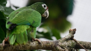 In this Nov. 6, 2018 photo, a Puerto Rican parrot perches on a branch inside a flight cage at the Iguaca Aviary in El Yunque, Puerto Rico, where the U.S. Fish & Wildlife Service runs a parrot recovery program in collaboration with the Forest Service and the Department of Natural and Environmental Resources. (AP Photo/Carlos Giusti)