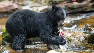 A black bear catches a fish in this undated handout photo. A new study shows that black bears need different species of salmon rather than huge numbers of them in a short period to be healthy. Christina Service who is the lead author of the study and a PhD candidate at the University of Victoria says it is the equivalent of humans going to an all-you-can-eat buffet for just a couple of days versus having one good meal a day for many months. THE CANADIAN PRESS/HO - April Bencze