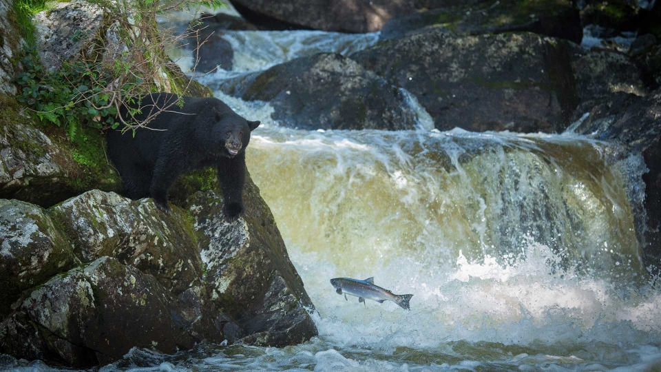 A black bear tries to catch a fish in this undated handout photo. A new study shows that black bears need different species of salmon rather than huge numbers of them in a short period to be healthy. Christina Service who is the lead author of the study and a PhD candidate at the University of Victoria says it is the equivalent of humans going to an all-you-can-eat buffet for just a couple of days versus having one good meal a day for many months. THE CANADIAN PRESS/HO - Cael Cook