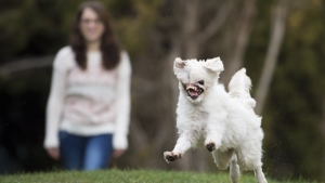 Mugsy, a Maltese/Japanese Spitz dog runs in the backyard in her new home in Burnaby, B.C., Friday, Jan 25, 2019. Mugsy, a rescue dog from Iran had a man douse her in a corrosive cleaner when she was around six weeks old burning much of her face and causing her to loose a eye, most of a ear and her nose. Mugsy was flown from Iran to Canada and now lives in Burnaby with her adoptive mom Sam Taylor. THE CANADIAN PRESS/Jonathan Hayward