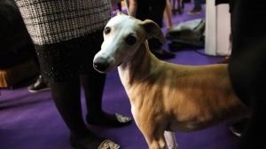 A Whippet named Bourbon, winner in the Best of Breed event, waits by her handler Cheslie Pickett Smithey at the Westminster Kennel Club dog show on Monday, Feb. 11, 2019, in New York. (AP Photo/Wong Maye-E)