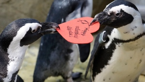 African penguins compete for a heart shaped valentine handed out by aquarium biologist Piper Dwight at the California Academy of Sciences in San Francisco, Tuesday, Feb. 12, 2019. The hearts were handed out to the penguins who naturally use similar material to build nests in the wild. (AP Photo/Jeff Chiu)