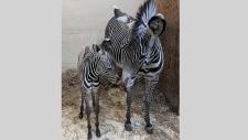 Toronto Zoo zebra