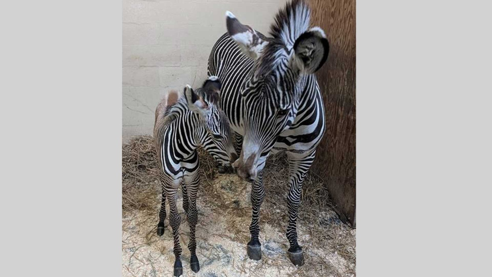 Tori, a Grevy's zebra, and her new foal are pictured at the Toronto Zoo. (Handout)