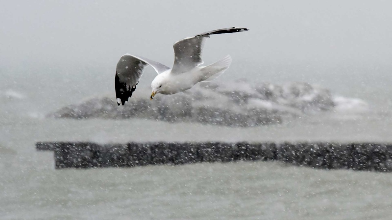 A seagull battles its way through a winter storm in Toronto on Wednesday February 27, 2019. THE CANADIAN PRESS/Frank Gunn