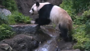 The Calgary Zoo will attempt to breed giant pandas Er Shun and Da Mao in the coming weeks but artificial insemination will be required as the pair have proven incompatible