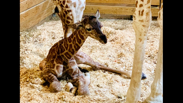 Zoo streams April the Giraffe as she delivers another calf