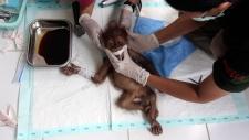 Orangutan injured