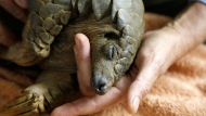 In this photo taken Friday, Feb. 22, 2019 a pangolin recovers from anesthetic at the Johannesburg Wildlife Veterinary Hospital, after undergoing a sonogram to check for pregnancy after being rescued from poachers in a sting operation. With the expansion of Pretoria and Johannesburg, South Africa's capital city and its economic center, the animals indigenous to the region are being squeezed out by development. The wildlife hospital mainly treats small mammals and raptors that are injured. (AP Photo/Denis Farrell)