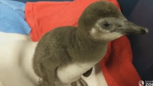 A baby African penguin is the newest addition to the Toronto Zoo. (TheTorontoZoo /Facebook)