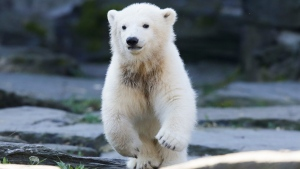 The polar bear cub Hertha runs in her enclosure, after the announcing of her name, at the Tierpark zoo in Berlin, Tuesday, April 2, 2019. The Berlin soccer club is the sponsor of the bear and decide for the name of the animal, who was born Dec. 1, 2018 at the Tierpark. (AP Photo/Markus Schreiber)