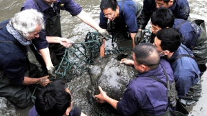 In this April 7, 2016, photo, researchers lift a female Yangtze giant softshell turtle out of the water at a zoo in Suzhou in eastern China's Jiangsu province. The only known female member of one of the world's rarest turtle species has died at a zoo in southern China, officials said Sunday, April 14, 2019. (Chinatopix via AP)