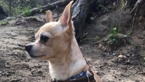 A woman says her dog was stolen from her while she was napping on the Toronto subway. Alberta Bakker says she was traveling south from Eglinton station when she dozed off with her chihuahua Malachi, shown in a handout photo, on her lap at around 6:30 p.m. Saturday. THE CANADIAN PRESS/HO-Facebook-Alberta Bakker