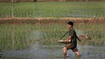 In this June 13, 2017, file photo, a farmer fertilizes rice seedlings in fields located along a highway in Pyongyang, North Korea. South Korea vowed Monday, May 20, 2019, to move quickly on its plans to provide $8 million worth of humanitarian aid to North Korea while it also considers sending food to the country that says it's suffering its worst drought in decades. (AP Photo/Wong Maye-E, File)