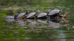 Turtles warm themselves by sitting on a tree branch in a park in Bucharest, Romania, Monday, April 29, 2019. (AP Photo/Vadim Ghirda)