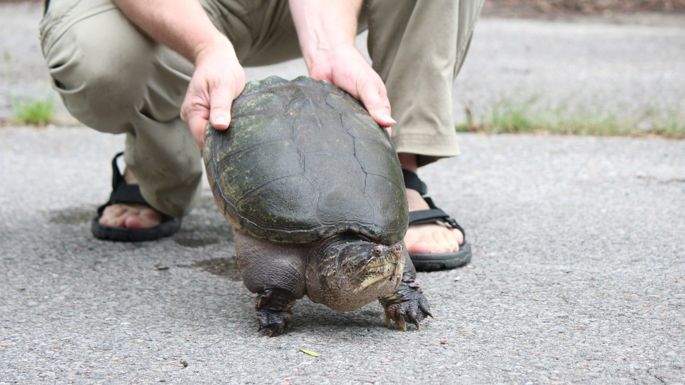 A snapping turtle is seen in this undated handout photo. Why did the turtle cross the road? It may sound like the opening of a joke, but the Nature Conservancy of Canada is urging motorists to help the slow-moving reptiles get to the other side. THE CANADIAN PRESS/HO, Nature Conservancy of Canada