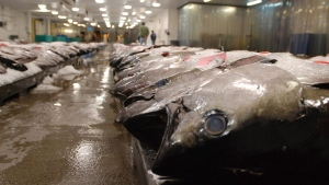 Tuna caught by foreign fishermen aboard American boats are lined up at the Honolulu Fish Auction at Pier 38 in Honolulu on March 23, 2016. A new Canadian-led study suggests that ocean abundance will drop steadily and consistently as the climate warms. The study, published today, used a series of marine climate models to predict what will happen to the crucial global food source under different amounts of warming. THE CANADIAN PRESS/AP, Caleb Jones