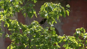 An aggressive red-winged blackbird has been dive-bombing residents in Liberty Village.