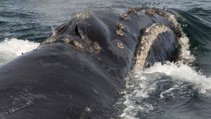 In this Aug. 6, 2017, file photo, provided by NOAA Fisheries a North Pacific right whale swims in the Bering Sea west of Bristol Bay. (NOAA Fisheries via AP, File)