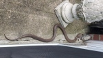 In this Monday, June 24, 2019 photo provided by Kathy Kehoe, a 4 to 5-foot-long snake slithers on the patio of her apartment in Fairless Hills, Pa. Kehoe used a shovel to kill the cobra. Her apartment complex is the same one where officials removed 20 venomous snakes from another apartment in March. Officials aren't sure if the cobra had escaped from that unit. (Kathy Kehoe via AP)
