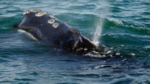 In this March 28, 2018, file photo, a North Atlantic right whale feeds on the surface of Cape Cod bay off the coast of Plymouth, Mass. Six of the endangered right whales died in the Gulf of St. Lawrence in June 2019, prompting scientists and conservationists to call for a swift response to protect the endangered species. (AP Photo/Michael Dwyer, File)