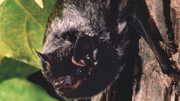 B.C. man who died from rare rabies infection swatted bat away