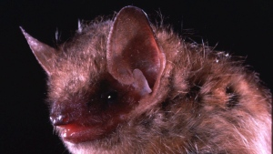 This is an undated closeup photo of the eastern pipistrelle bat, a species that is frequently linked with human rabies cases. A British Columbia man has died of a rare viral rabies infection, the first such case in the province since 2003.Provincial Health Officer Dr. Bonnie Henry says the man was in contact with a bat in mid-May and developed symptoms compatible with rabies six weeks later. THE CANADIAN PRESS/AP/Merlin D. Tuttle, Bat Conservation International)