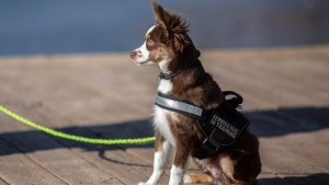 Chuck Brookens, of Rapid City, S.D., walks with Finn, his service dog in training, at Canyon Lake Park in Rapid City, S.D. THE CANADIAN PRESS/AP, Ryan Hermens-Rapid City Journal
