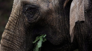 An Asian Elephant is seen at a zoo in Germany in this file photo. (AP Photo/Markus Schreiber)