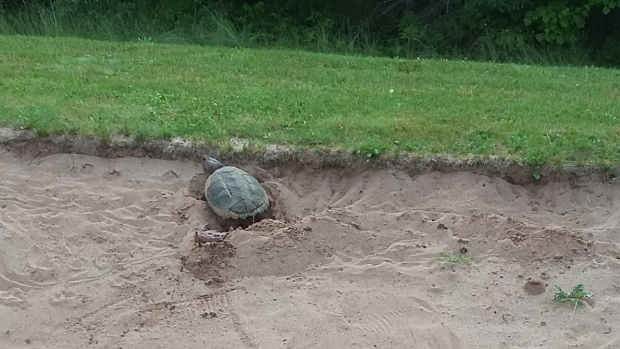 Golf course snapping turtle
