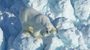 Alaska scientists say the chances of a polar bear encounter have increased after research reveals the bears are arriving on shore earlier and staying on land longer, a report said. (Mike Lockhart/USGS via AP/File)
