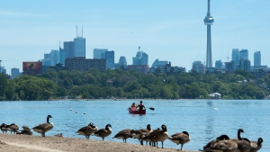 Canadian Geese watch on the beach as people paddle in a canoe on Lake Ontario in Toronto on Monday, July 15, 2019. (THE CANADIAN PRESS/Nathan Denette)