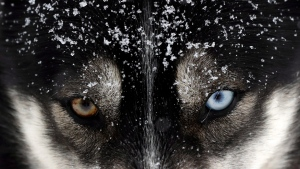 A dog waits for the start of the Sedivackuv Long dog sled race near the village of Destne v Orlicky Horach, Czech Republic, Friday, Jan. 25, 2019. The Canadian government has apologized for the killings of thousands of sled dogs decades ago. THE CANADIAN PRESS/AP-Petr David Josek