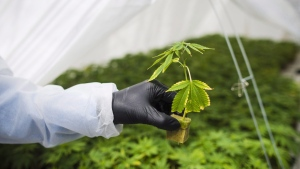 The root system from a cannabis cutting is photographed at the CannTrust Niagara Greenhouse Facility during the grand opening event in Fenwick, Ont., on Tuesday, June 26, 2018. CannTrust Holdings Inc. says Ontario's provincial government cannabis retailer is returning all of the company's products it has because they do not conform with the terms of its master cannabis supply agreement. The company says the total value of the products is about $2.9 million. THE CANADIAN PRESS/ Tijana Martin