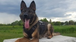 PSD Flex is being credited for catching a suspect who hid in a cornfield after allegedly stealing from a Clarington home on Saturday. (Durham Police)