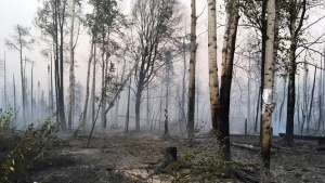 In this photo taken Sunday, Aug. 18, 2019, provided by the Alaska Division of Forestry, are burned trees after the McKinley Fire burned through the area near Willow, Alaska. (Maureen Clark/Alaska Division of Forestry via AP)